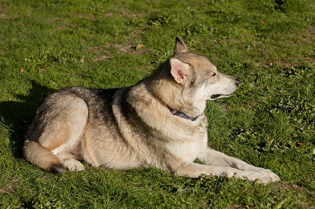 Dog Wolf Canine Animal Grass